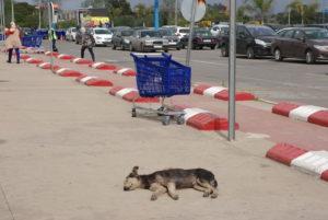 Streunerhund in Marokko