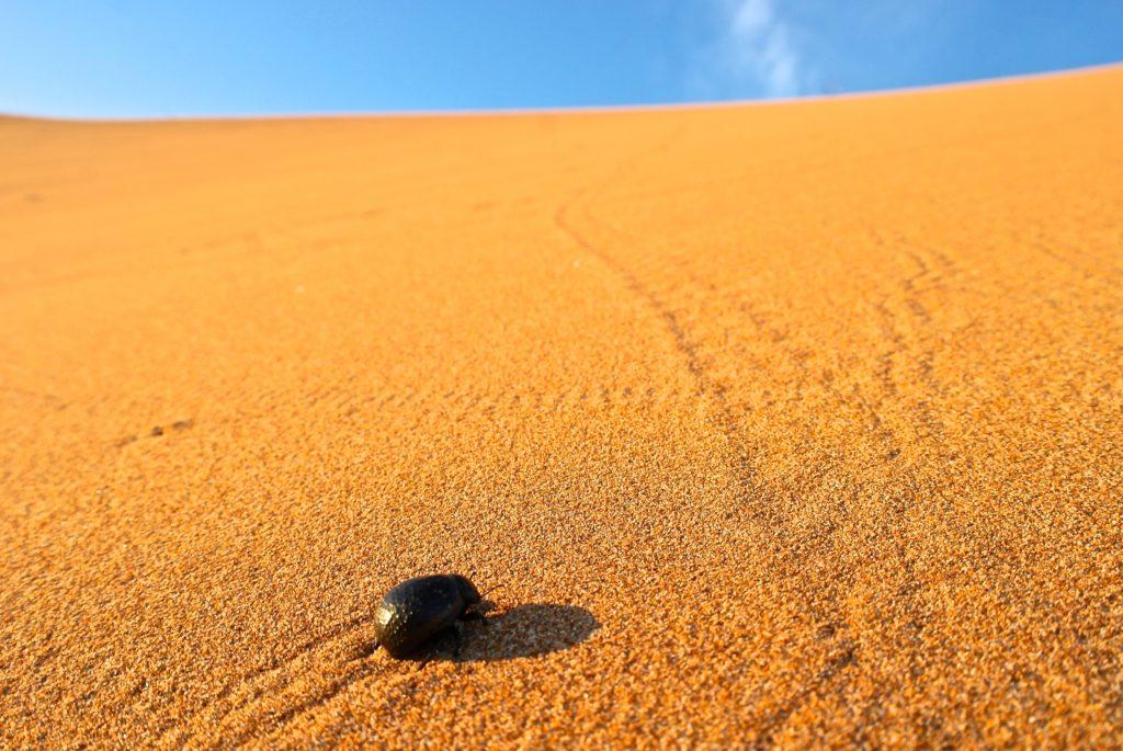 Käfer sind Teil von Marokkos Tierwelt