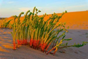 Wüstengras in Marokko