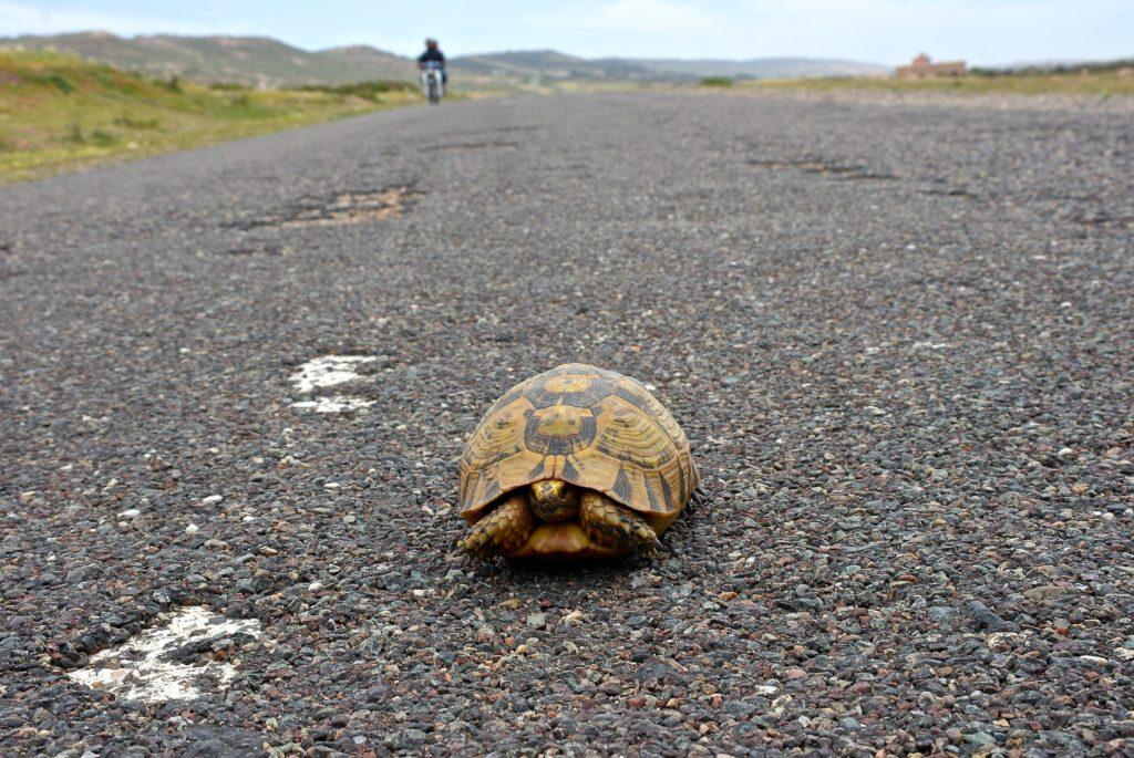 Maurische Landschilkröten sind Teil von Marokkos Tierwelt
