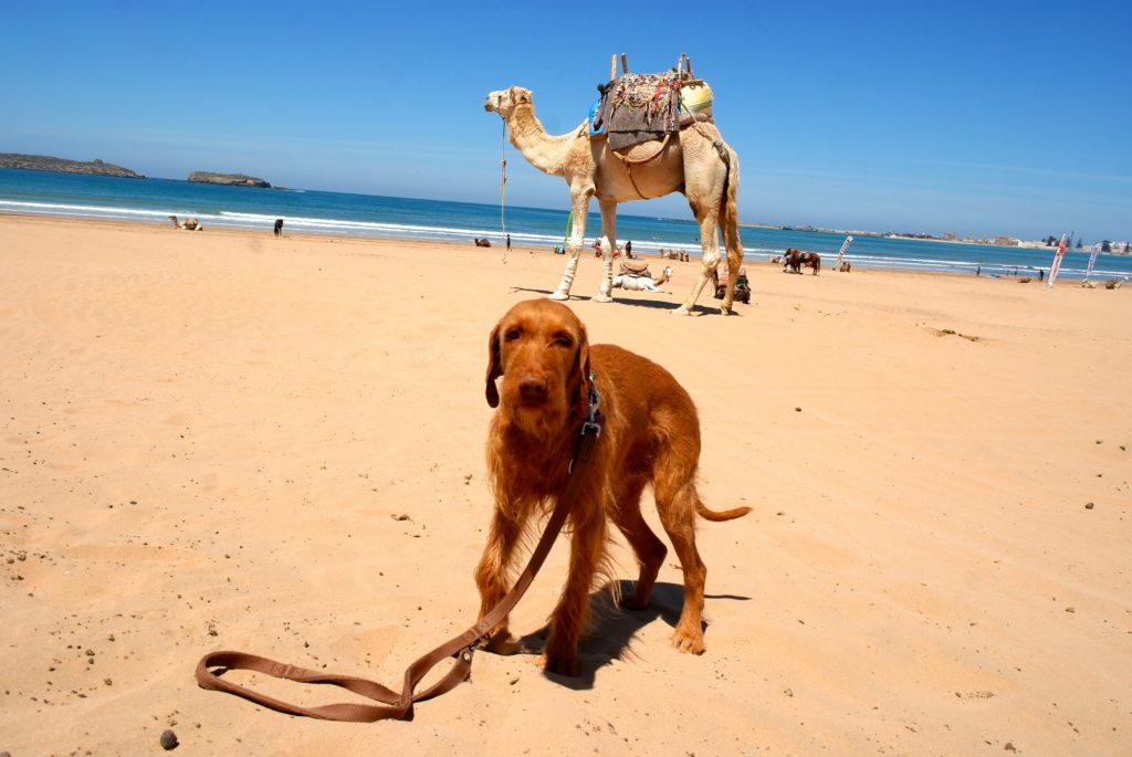 Dromedare gehören zu Marokkos Tierwelt