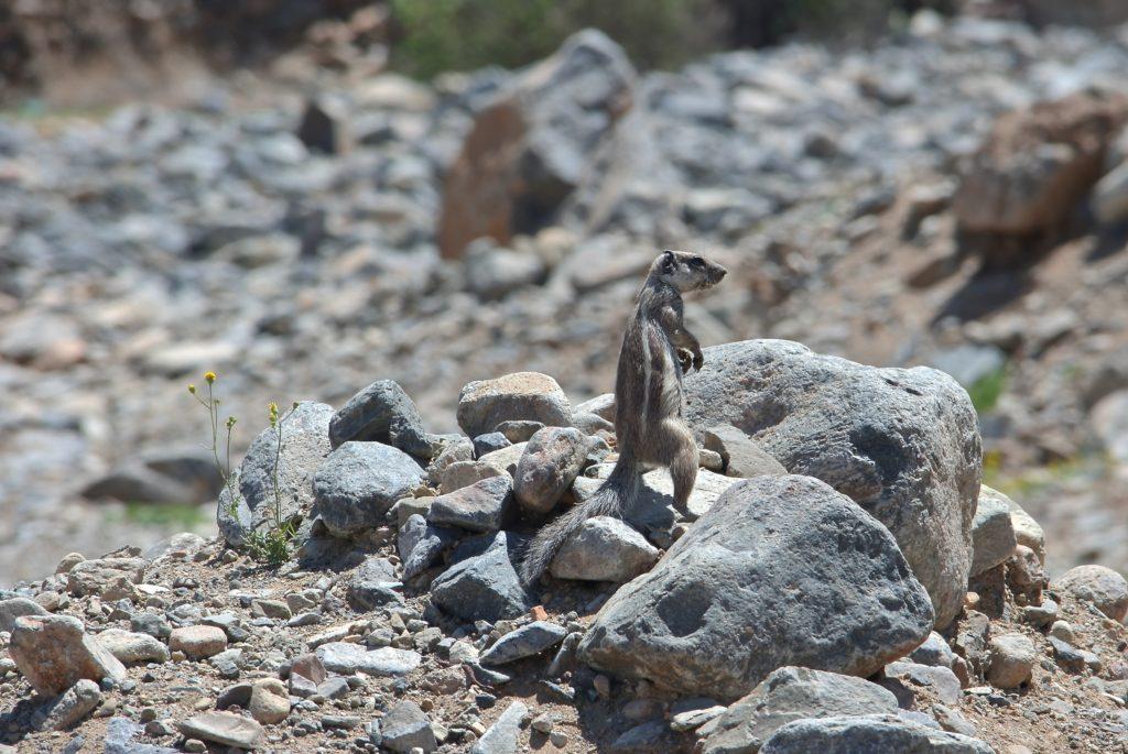 Atlashörnchen sind Teil von Marokkos Tierwelt