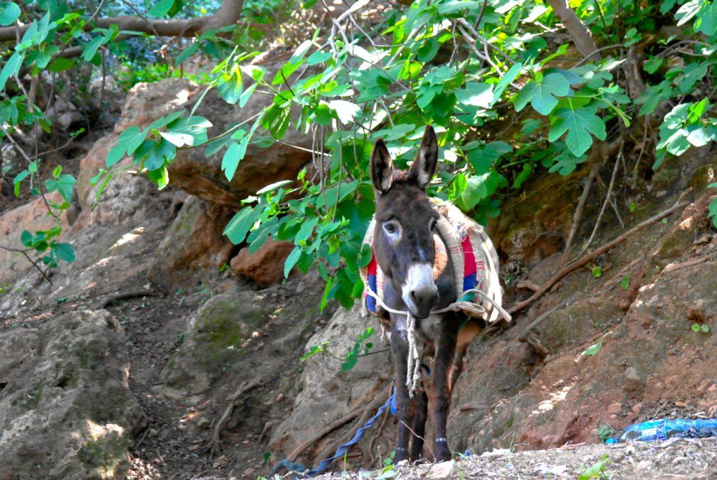 Esel sind Teil von Marokkos Tierwelt