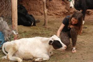 Kalb in Marokko