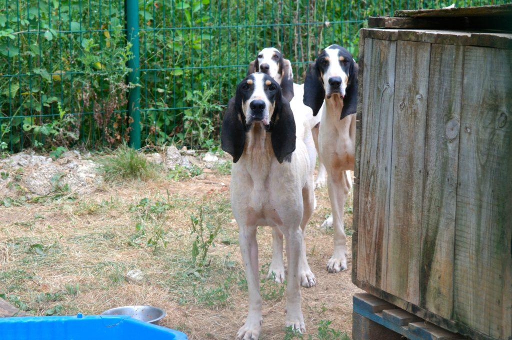 Diese Gascon Santongeois gehören zu den Jagdhunden im Tierheim in Mornac