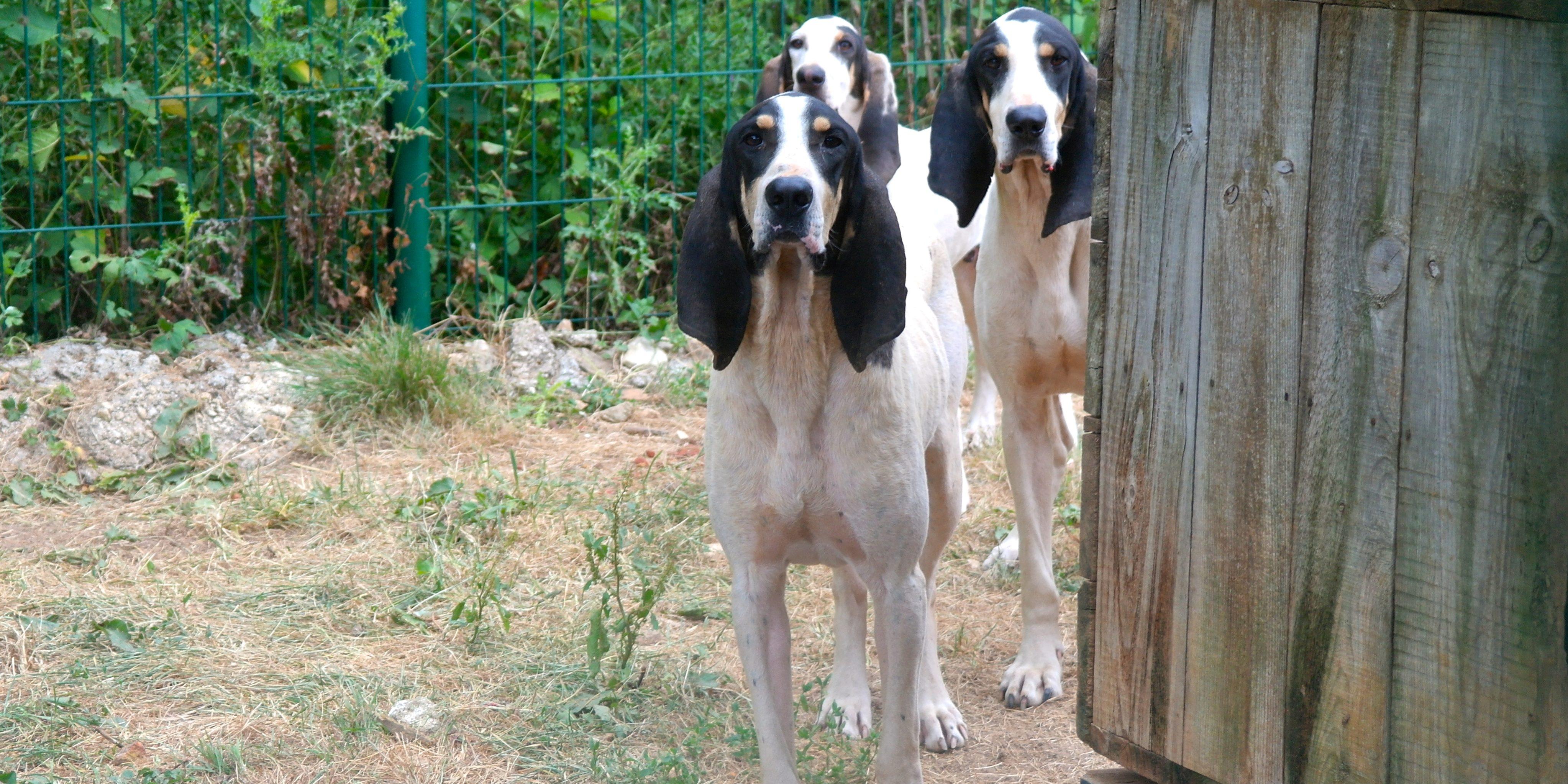 Jagdhunde Im Tierheim