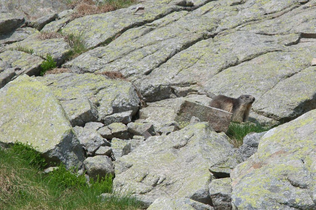Murmeltier in den Pyrenäen