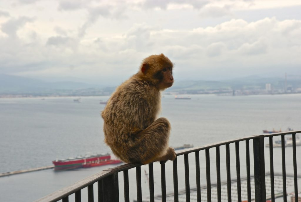Makake über dem Hafen von Gibraltar