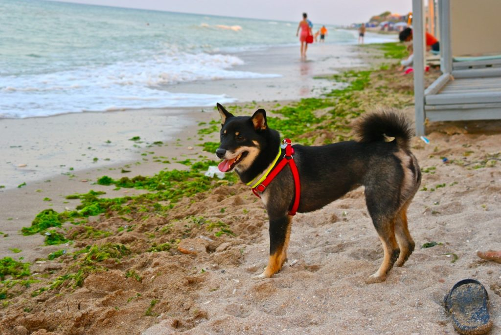 Hund am Strand von Vama Veche