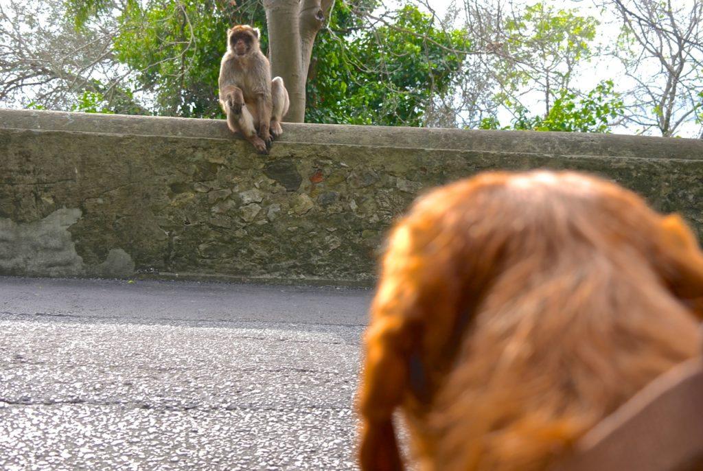 Yeti beobachtet die Berberaffen von Gibraltar