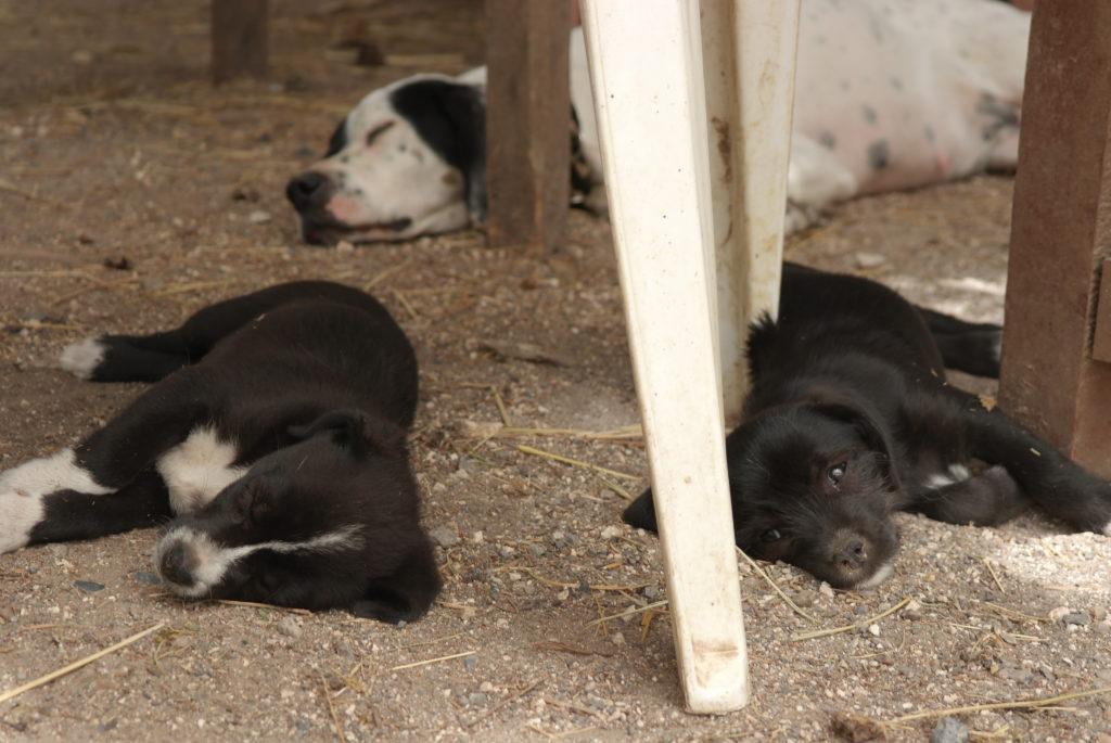 Welpen in der korfiotischen Esel-Auffangstation