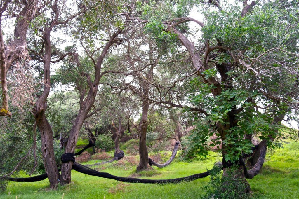 Oliven auf Korfu