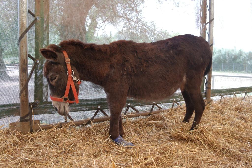Esel Xara im Corfu Donkey Rescue