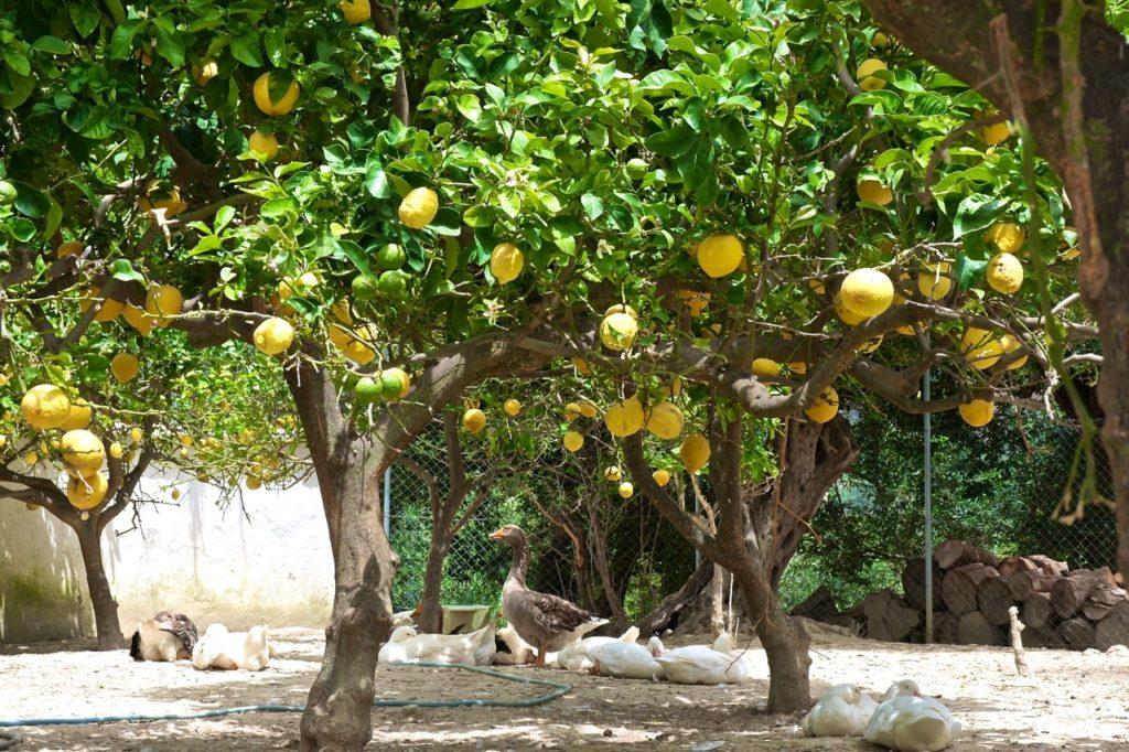 Gänse und Zitronen auf Korfu