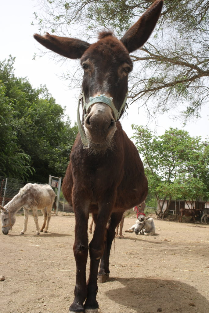 größter Esel des Corfu Donkey Rescue