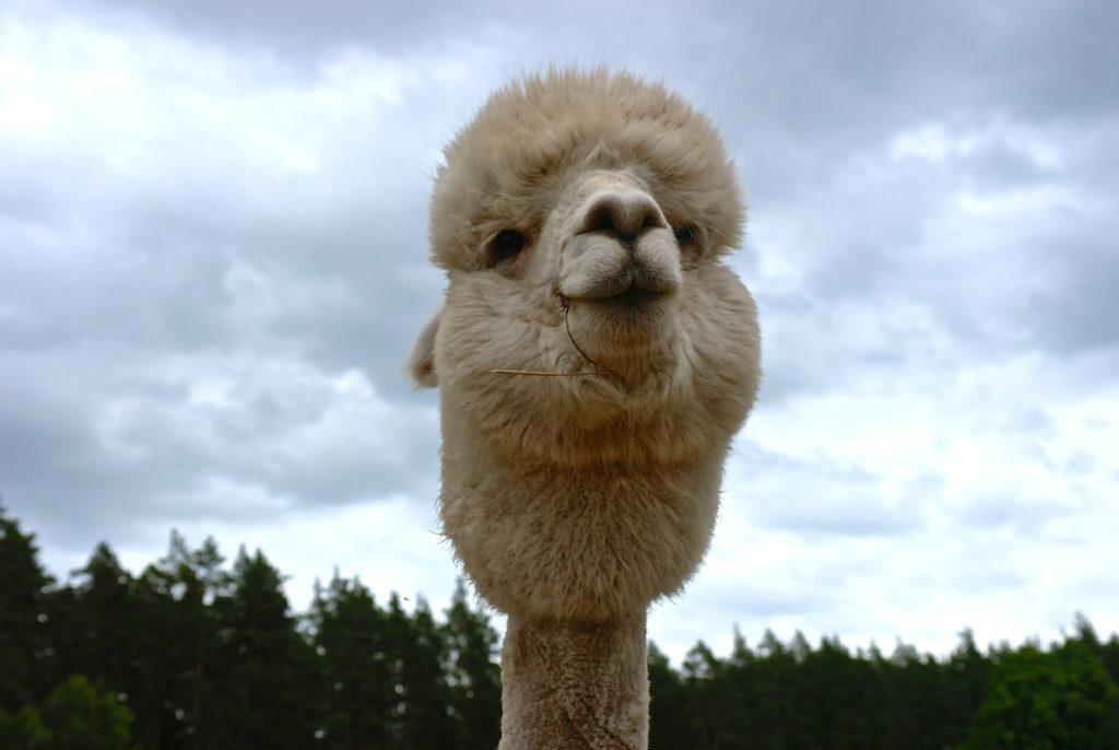 Alpaka auf Kamel-Farm