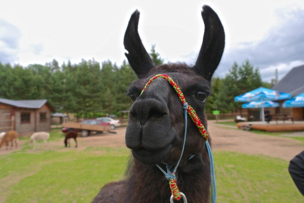Lama Ronijs auf Kamel-Farm