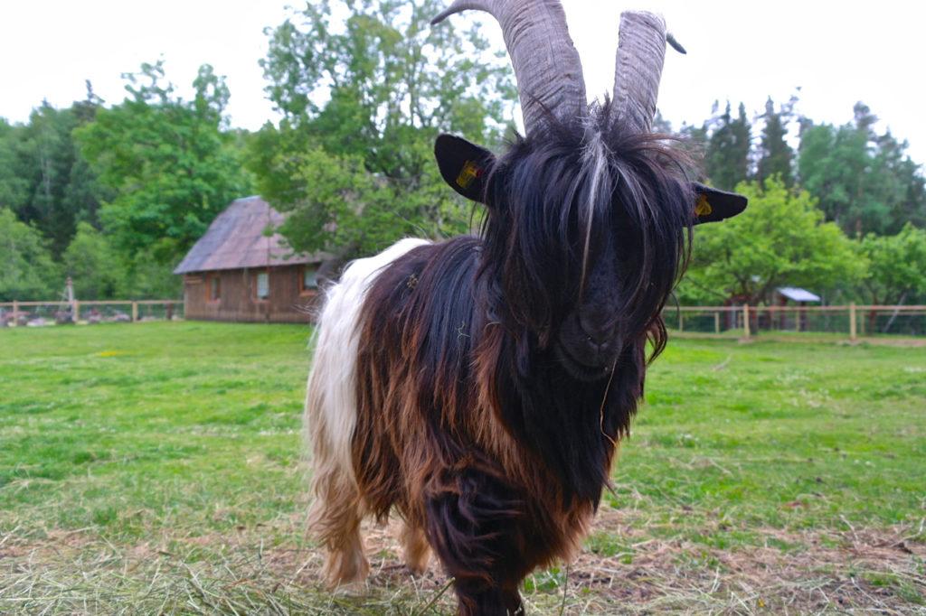 Walliser Schwarzhalsziege auf Kamel-Farm