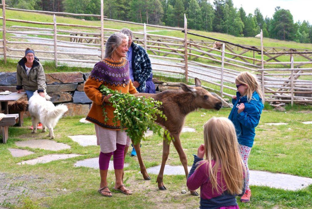 Elchkalb auf Bauernhof in Norwegen