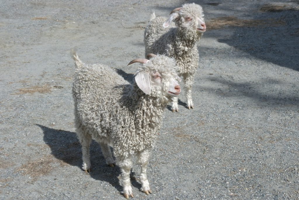 Gotlandschafe auf Bauernhof in Norwegen