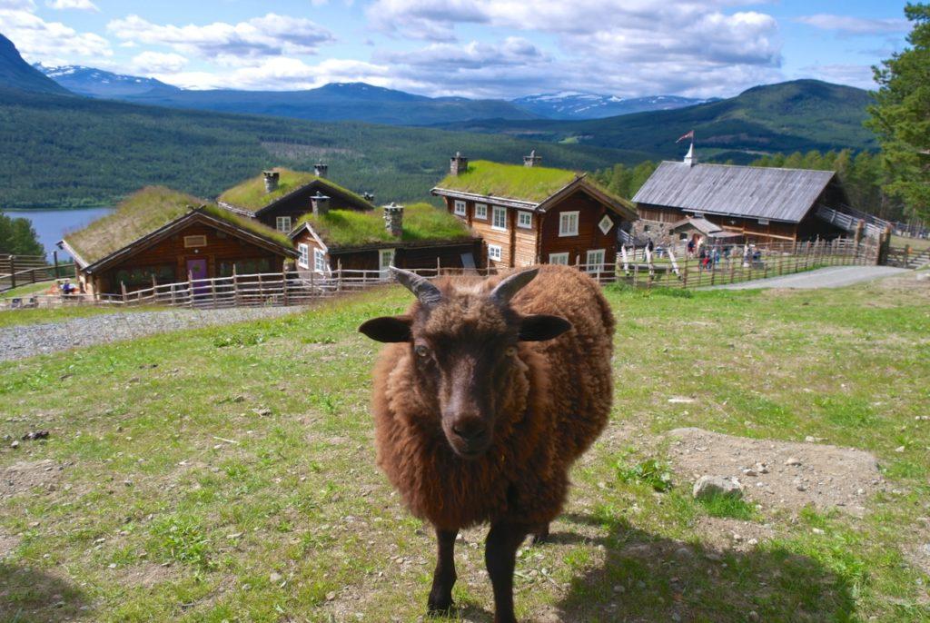 Schaf auf Glittersjå
