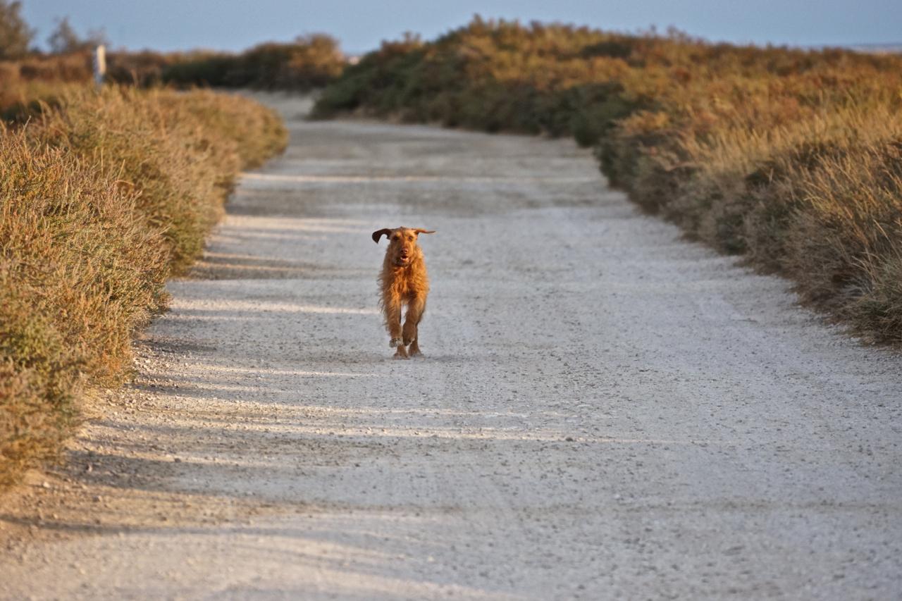 Hund in der Camargue
