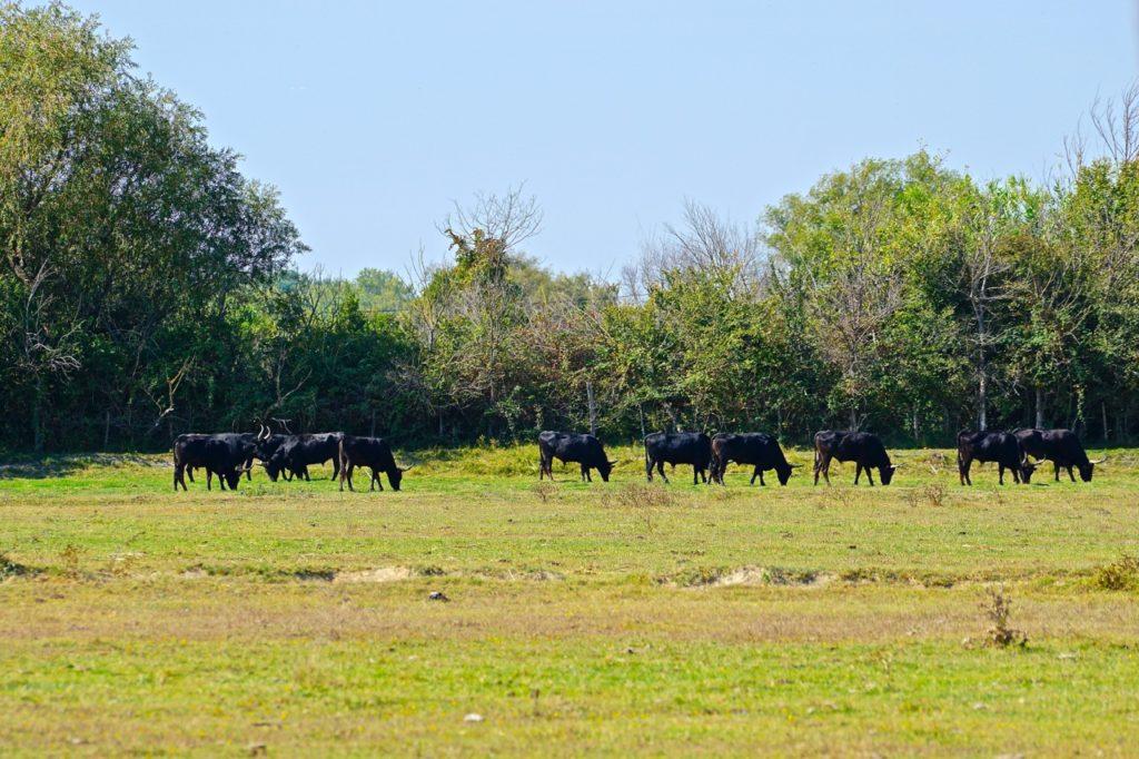 Stiere auf dem salzigen Salinen-Gras der Camargue