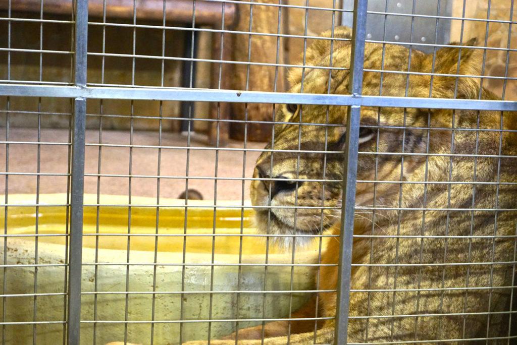 Innengehegen Löwen im Leningrad Zoo