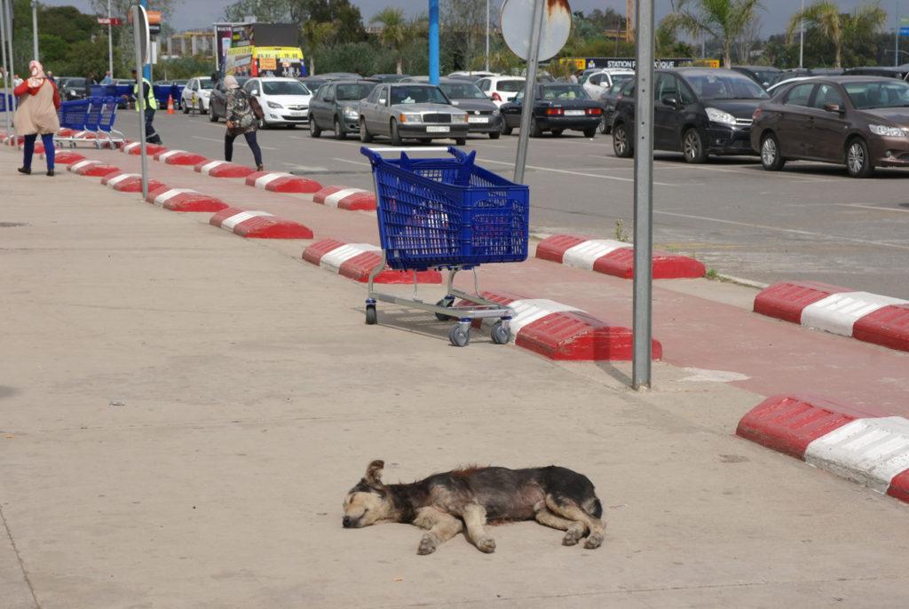 Streunerhunde in Marokko