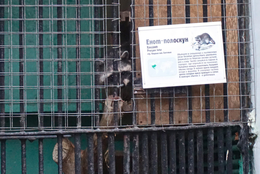 Racoon im Leningrad Zoo