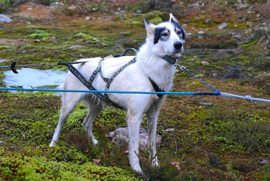 Schlittenhund in Lappland