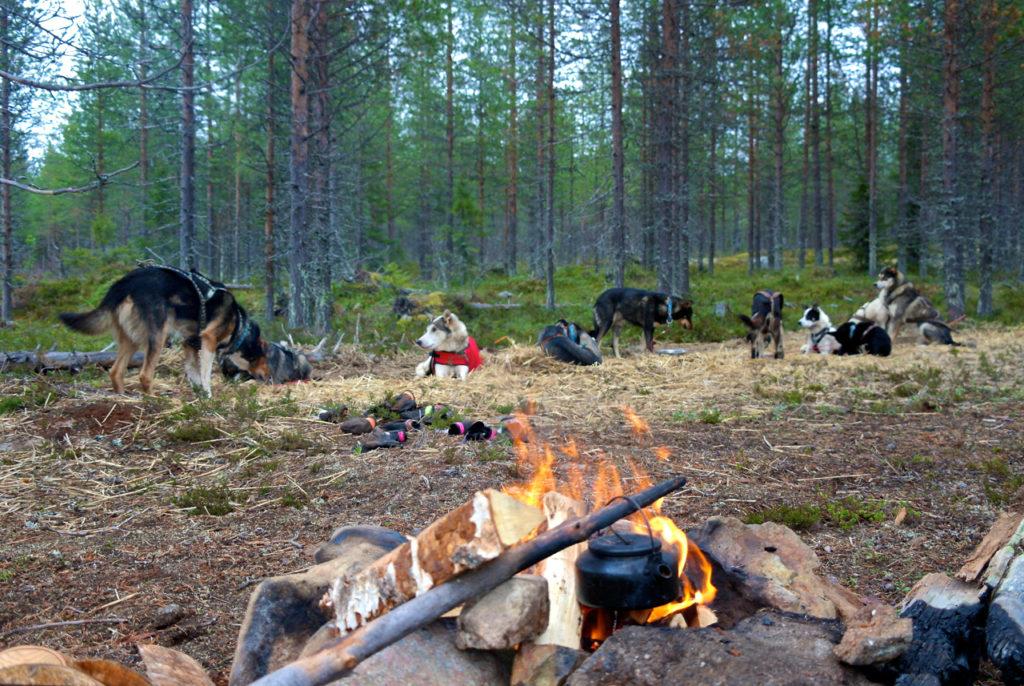 Lagerfeuer mit Huskies