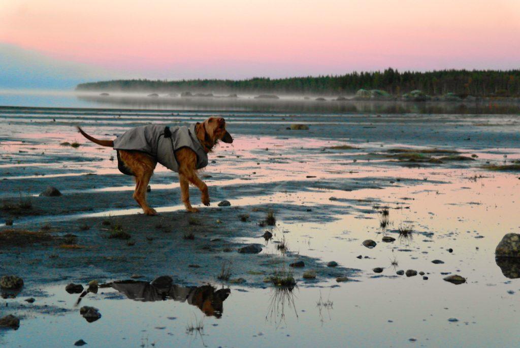 Yeti trägt Hundemantel am Nordpolarkreis