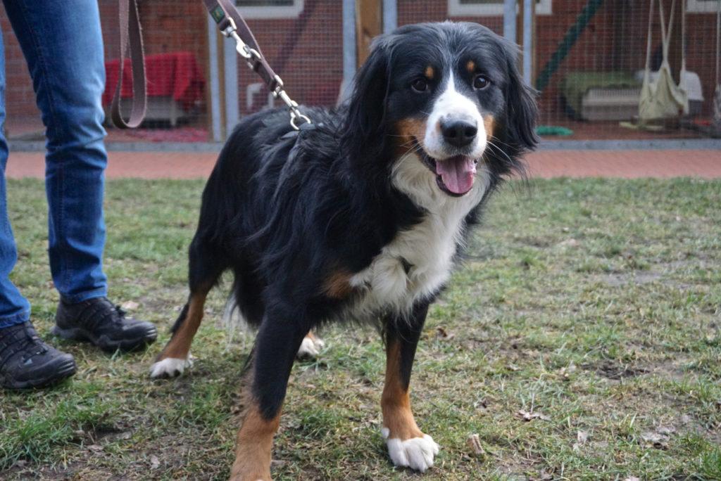 Bernersennenhund-Mix Rico im Tierheim