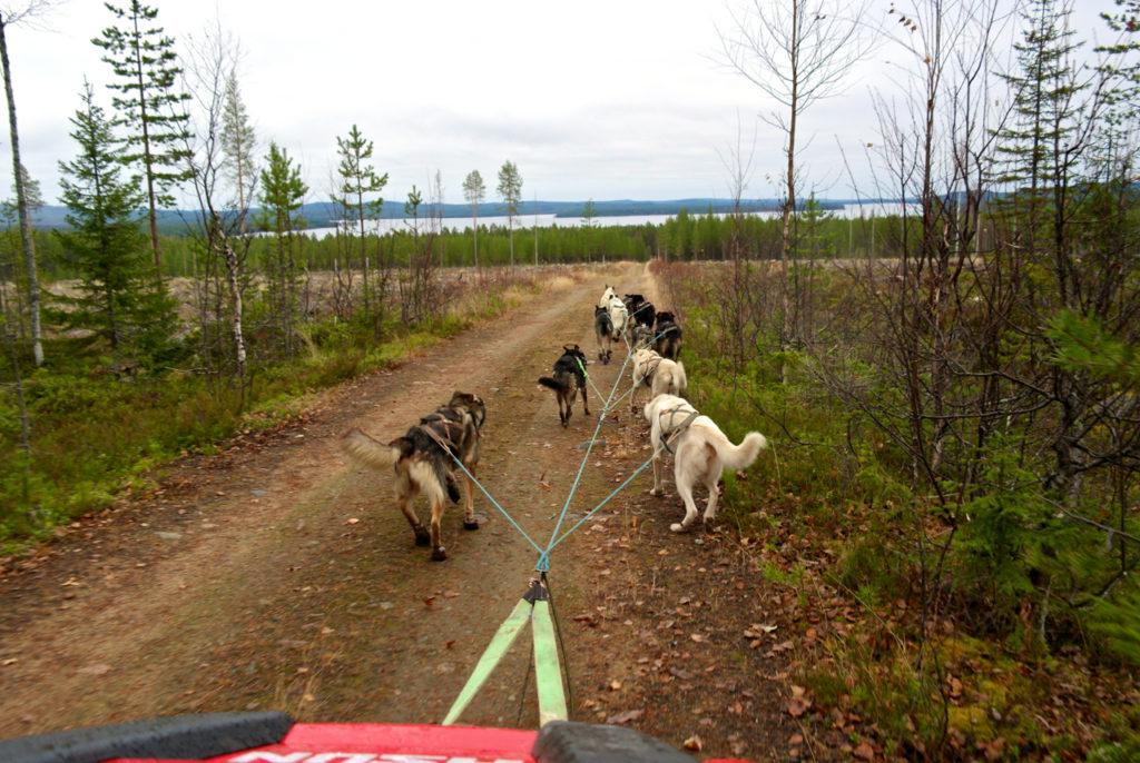 Huskies rennen durch die Tundra