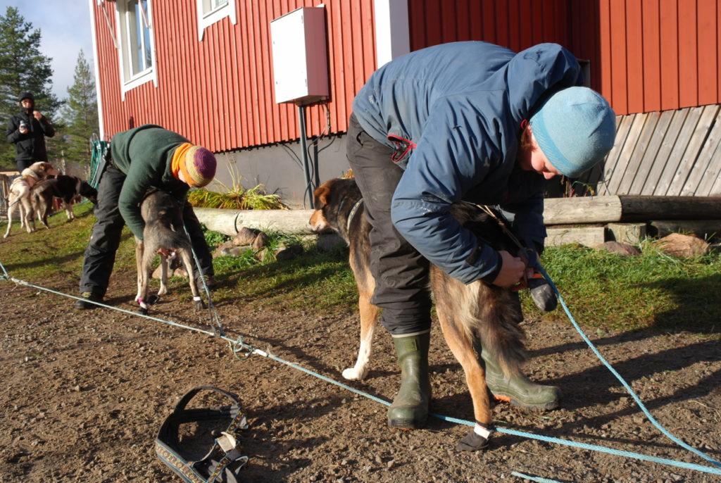 Hukies werden präpariert für das Herbsttraining