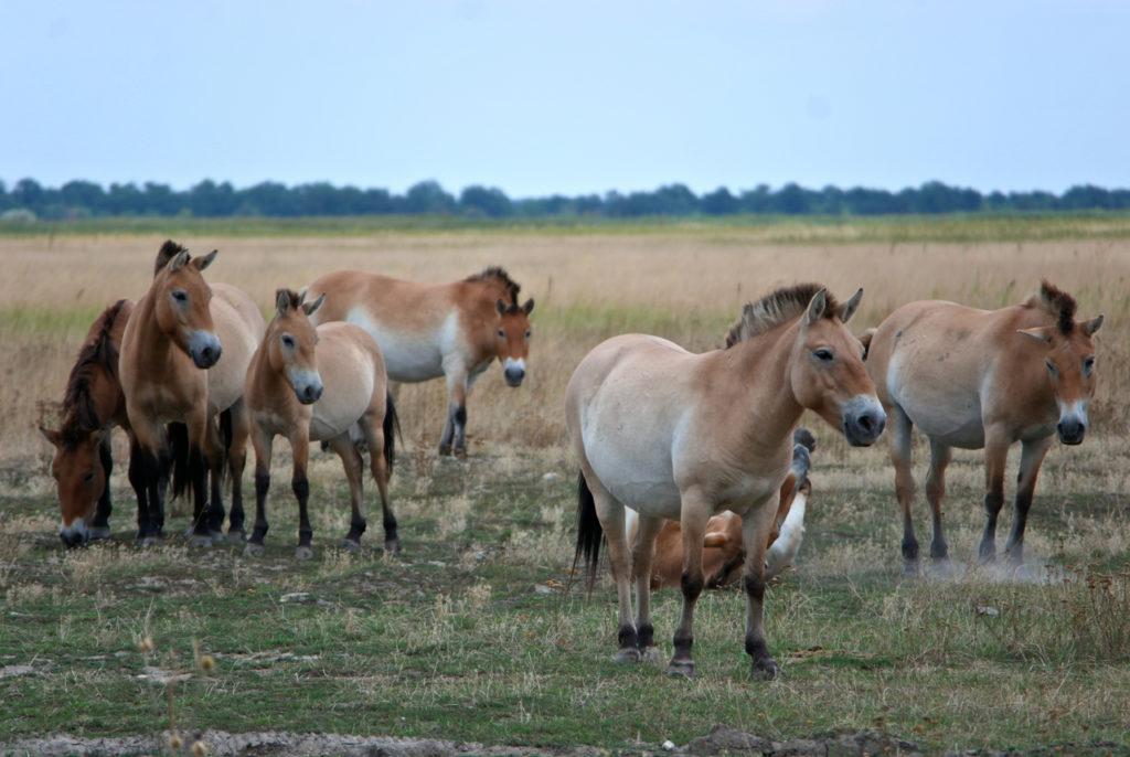 Przewalski-Pferde in Ungarn