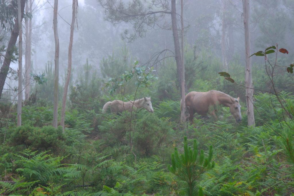Frei laufende Pferde in den Wäldern Galiciens