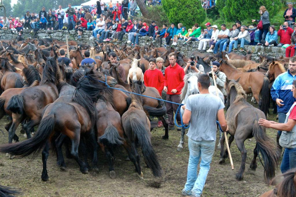 Pferde werden im Curro eingefangen