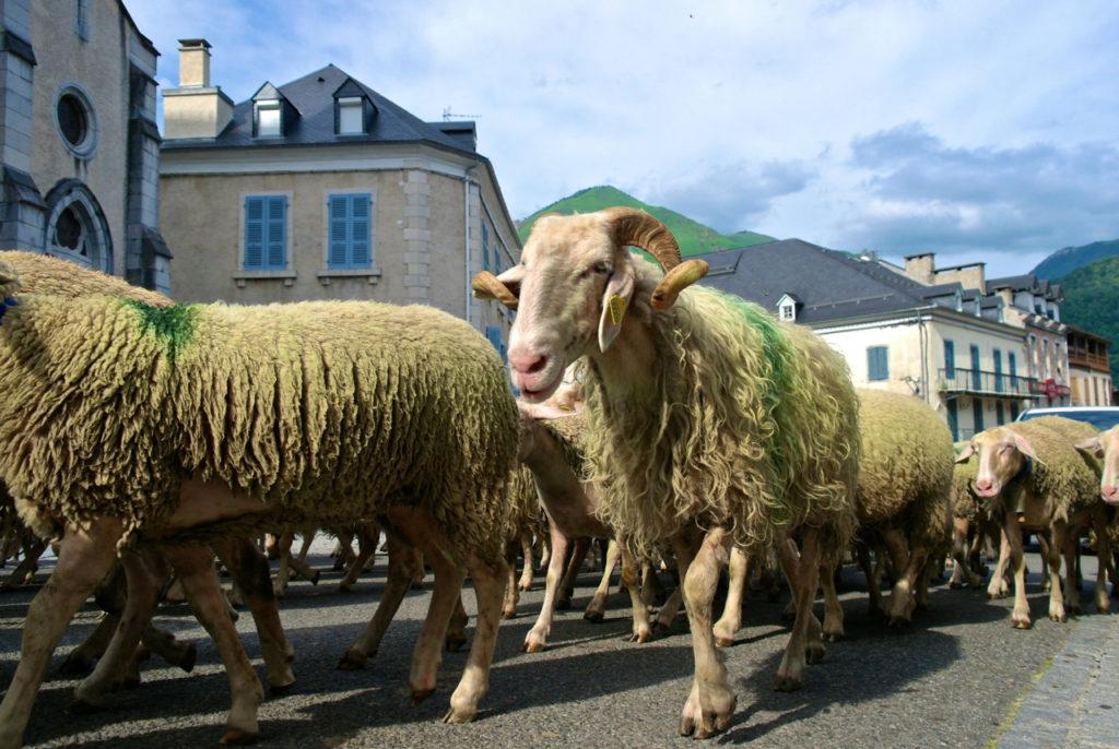 Schafe bei der Transhumanz in Laruns