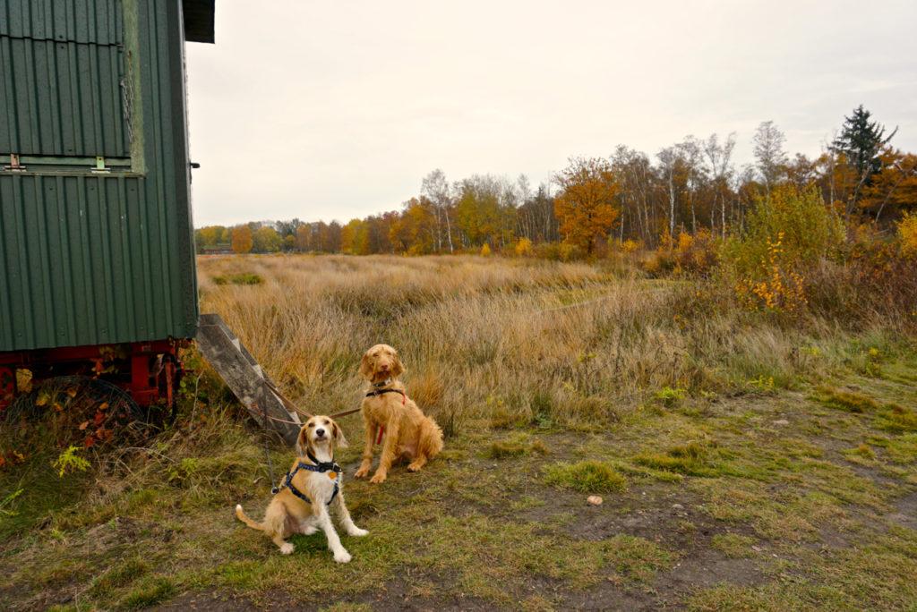 Hunde im Goldenstedter Moor