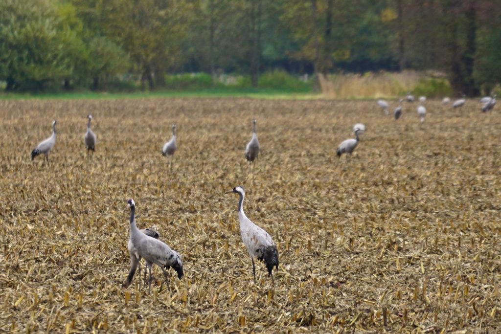 Kraniche auf den Feldern am Goldenstedter Moor