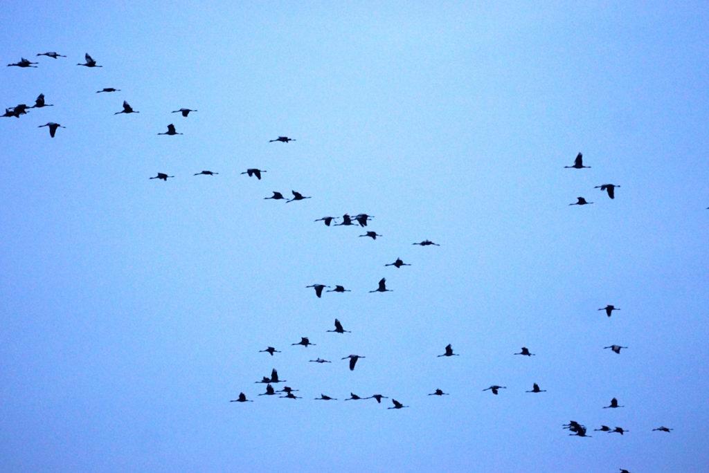 Kraniche ziehen am Himmel