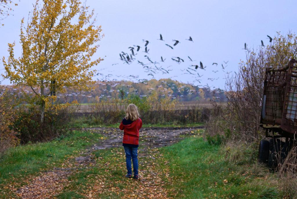 Auffliegende Kraniche im Goldenstedter Moor