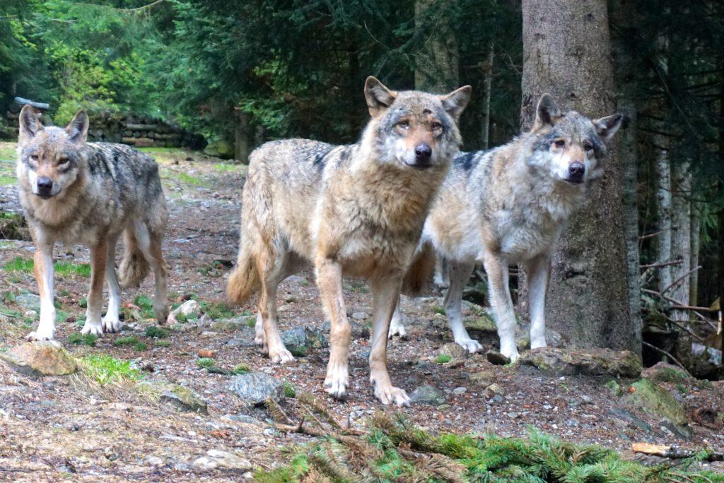 Rudel in französischem Wolfspark