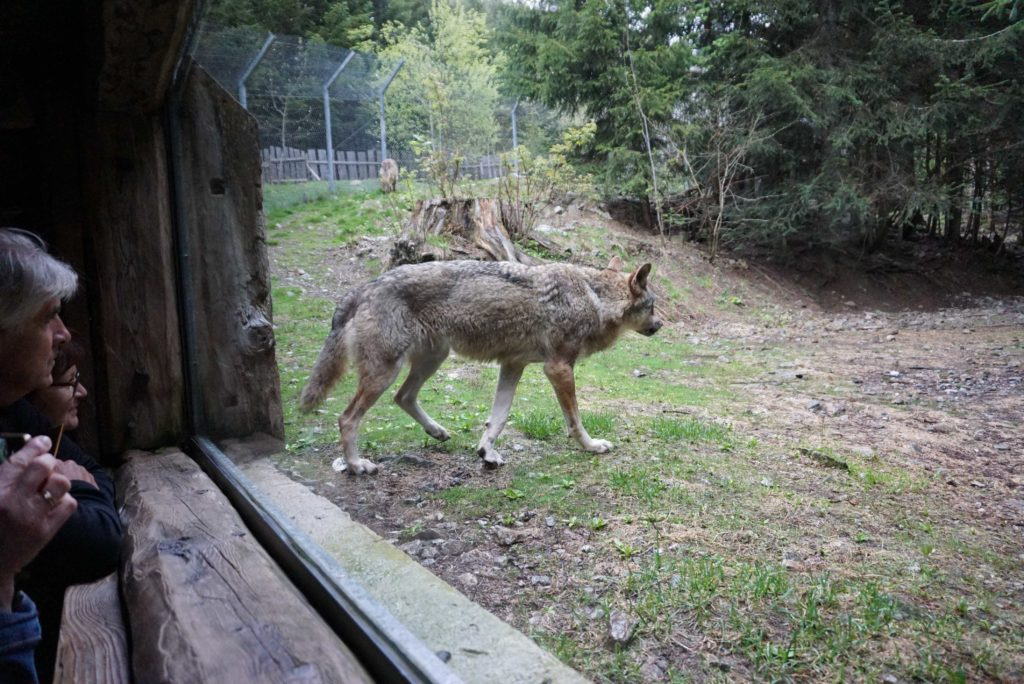 Wolfsbeobachtung im Tierpark