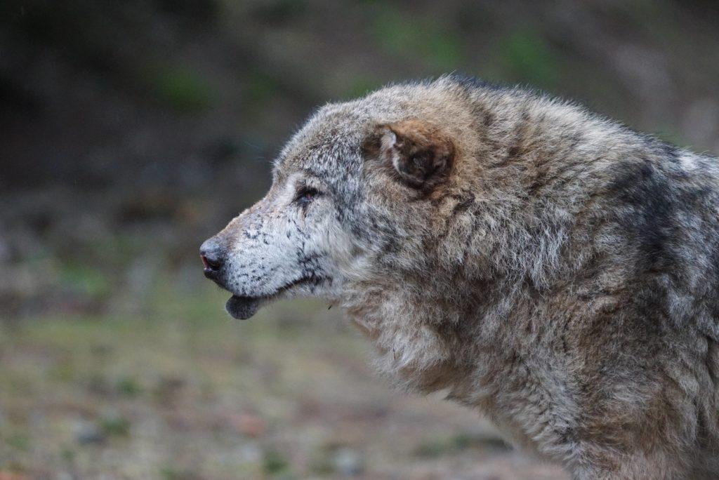 Verletzter Wolf im Wolfspark