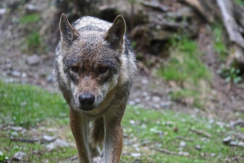 Einzelwolf im Wolfspark