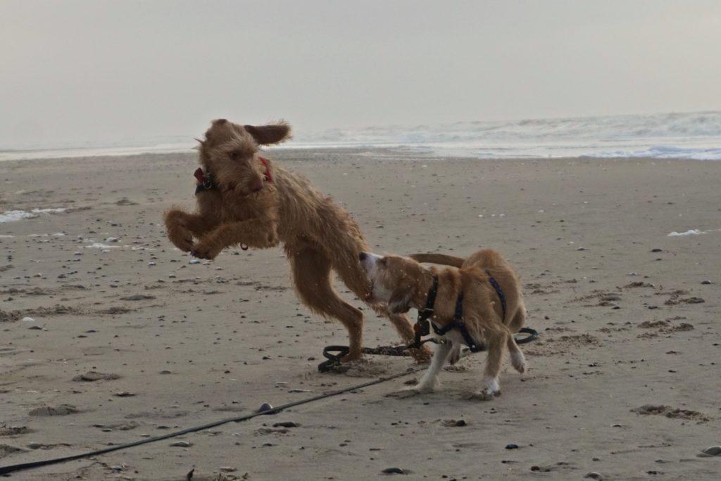 Hunde toben am Strand in Dänemark