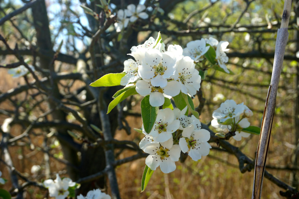 Obstbaumblüten in Haselbach